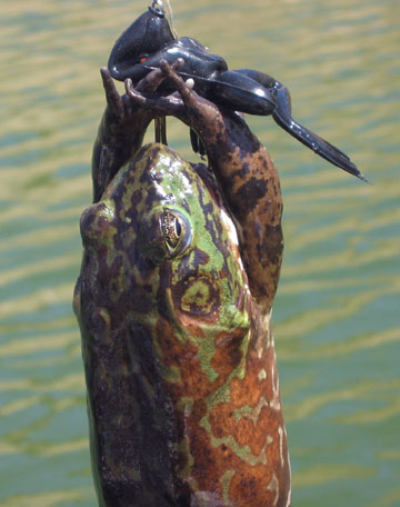 Catching Bullfrogs With Fishing Pole